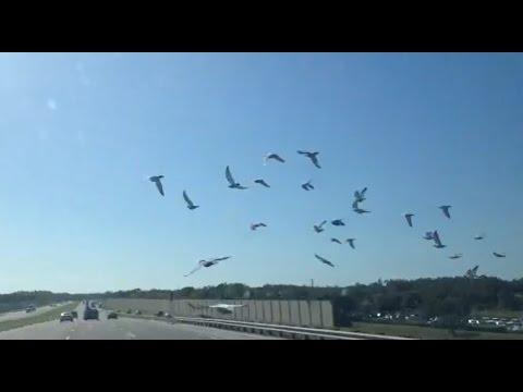 Racing Pigeons fly on the interstate 75