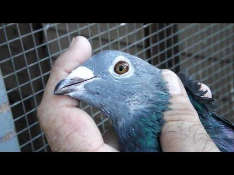 Pigeon Breeding  By Domingo Medina Jan Aarden and Janssen 019