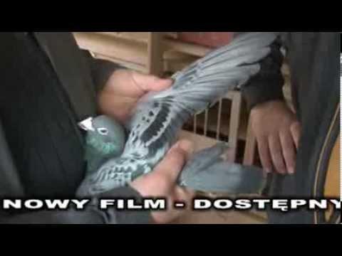 Richard Mennen - Niemcy - Cechy dobrego gołębia