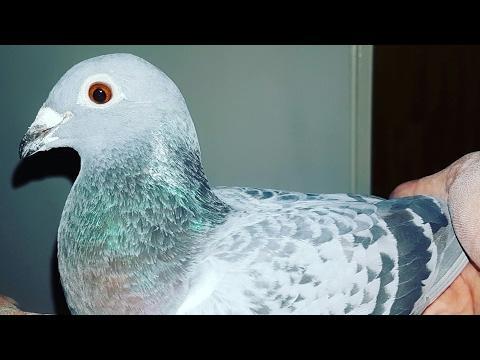 Wysyłka rasy Kulbacki w Europie next shipping of my pigeons in Europe tel 0049 1511 290 1511