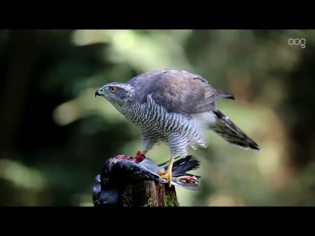 """Boze duivenmelker: """"Mijn beste doffer werd gepakt door een roofvogel"""""""