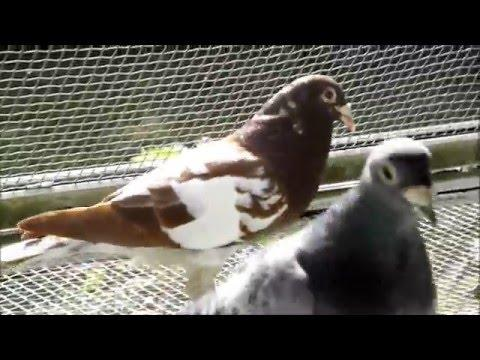 Racing Pigeons  Scotty Loft - Houbens Jannsen Racing Homer