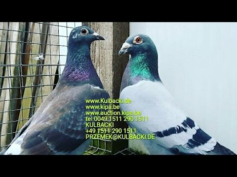 Wysyłka gołębi pigeons shipping every week tel +49 1511 290 1511 Przemek@kulbacki.de Kipa.be
