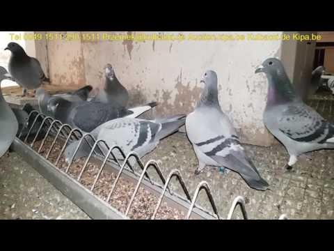 100 Years Kulbacki breeding video in English language FUTUREPIGEONS EVOLUTION OF RACING PIGEONS