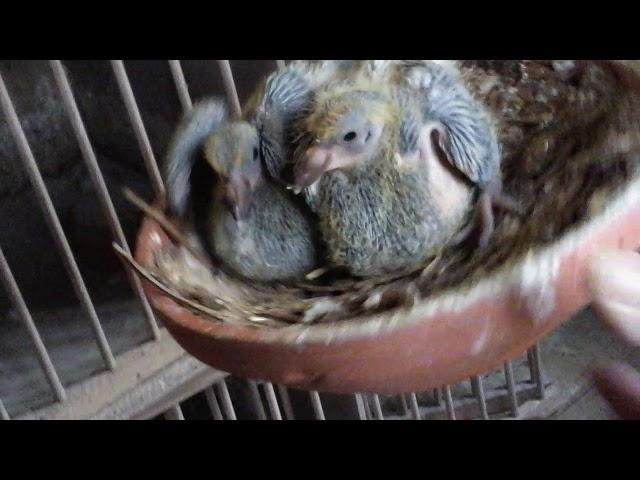 Mijn duiven bekijken (deel 2)