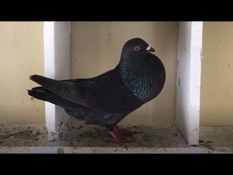 "My New Pigeon - Pigeon Rescued ""Cuban Pigeon"""