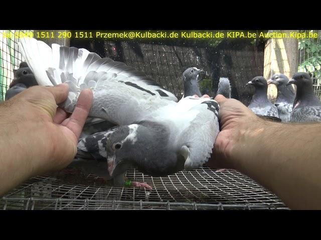 12/06/2018 AKTUALNE SUPER GOLEBIE NA SPRZEDAZ TEL 0049 1511 290 1511 PIGEONS FOR SALE TAUBENVERKAUF