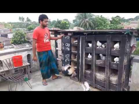 Pigeon Releasing | Very Beautiful Loft | Pigeon Breeding In Roof.