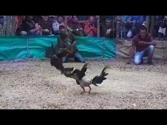 Peleas de gallo camaguey,cuba 2018
