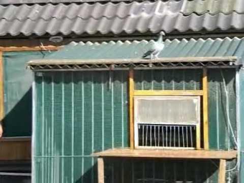 eerste duiven vlucht