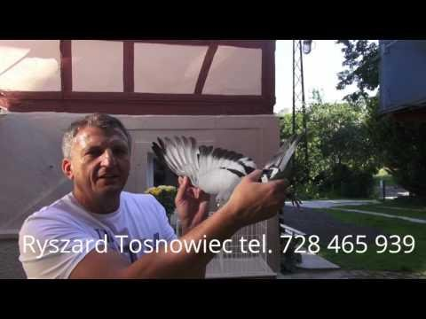 Lot gołębi z Ostendy 15 07 2017 , Wygrał Rysiu Wyżymacz !