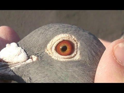 Racing pigeon for sale 2016 - Excellent racer breeder - cock (544-2010)