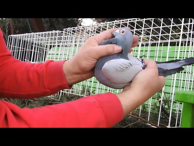 Szybkie gołębie Żniwiarze część 5 21 11 2020