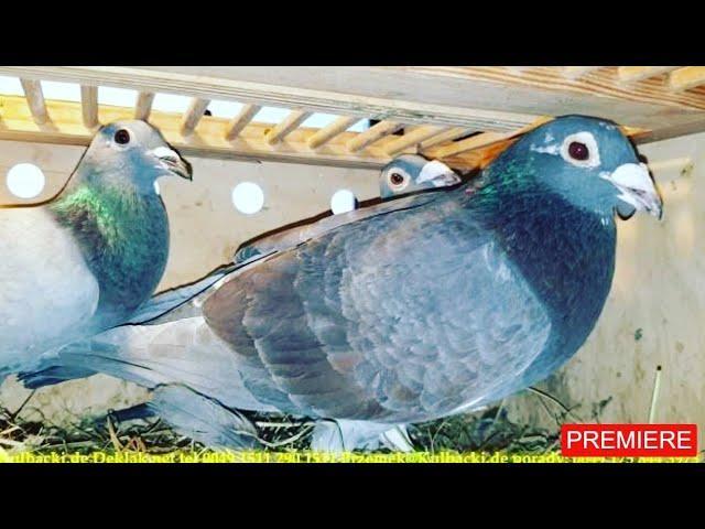 2 Jansseny parka + wnuk Ramsesa na sprzedaz sale top pigeons Janssen and Ramses 0049 1511 290 1511