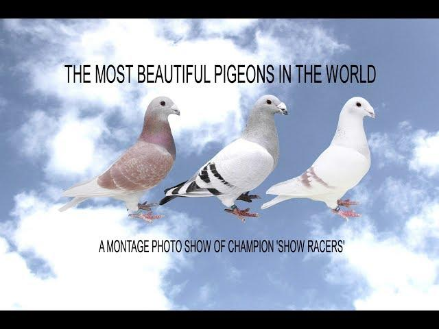 Video 391: The Most Beautiful Pigeons In The World: Show Racers