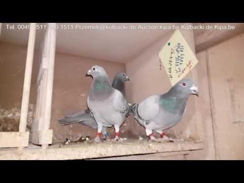 Shipping of Kulbacki pigeons in Europe wysyłka rasy Kulbacki w Europie tel 0049 1511 290 1511