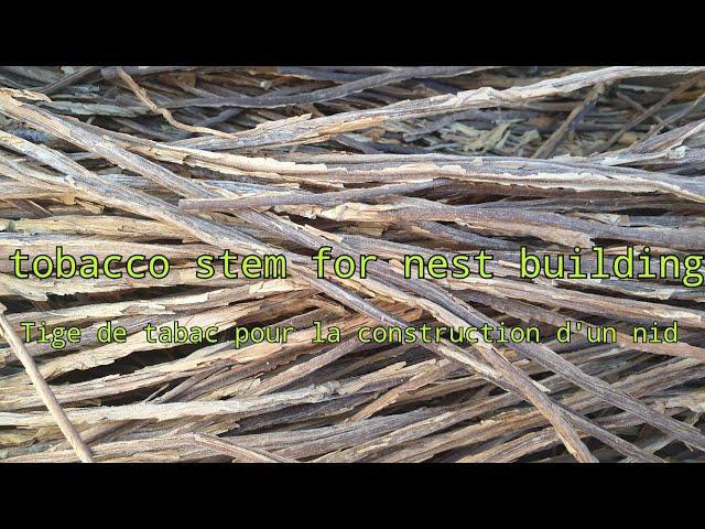 tobacco stem for nest building Tige de tabac pour la construction d'un nid #porady #tips
