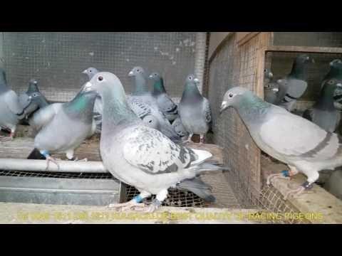 Braty najlepszych lotników na sprzedaż brothers of best Champions pigeons for sale 004915112901511