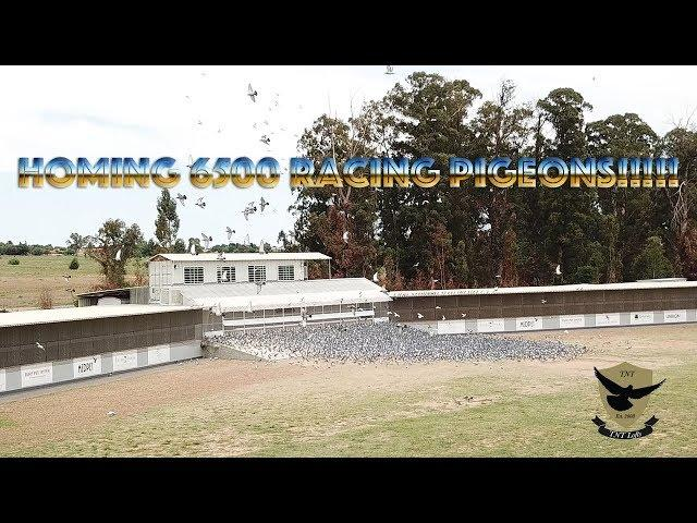 Homing 6500 Racing Pigeons!!!! SAMDPR...