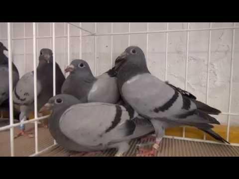 Kup sobie młode gołębie tel. 728 465 939