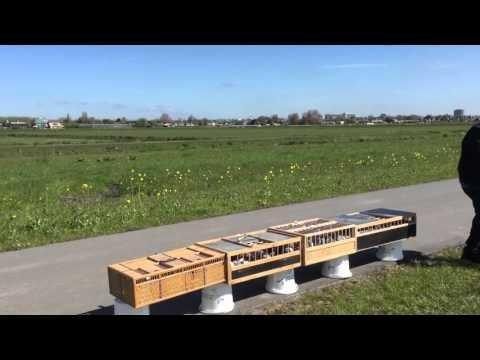 Lossing jonge duiven 2016 in Pijnacker (ZH) 1 mei 2016