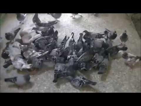 Loty gołębi młodych 2017  lot próbny z kabiny