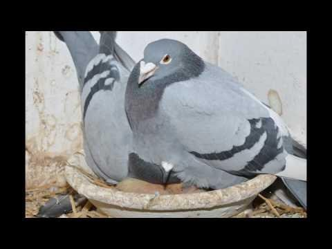 Dzień z gołębiami , muzyka relaksacyjna