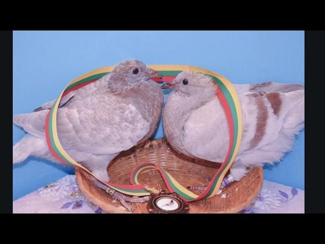 Wyżymacze i Żniwiarze gołębie Ryszarda tel. 728 465 939