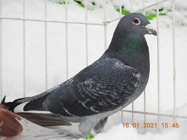 Jak zdrowo karmić gołębie by miały apetyt tel. 728 465 939