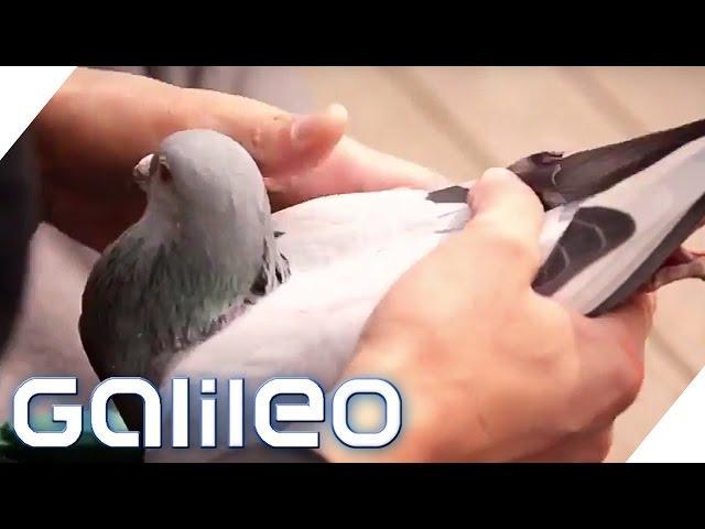 Tauben als Wertanlage? In China ist das Realität | Galileo | ProSieben