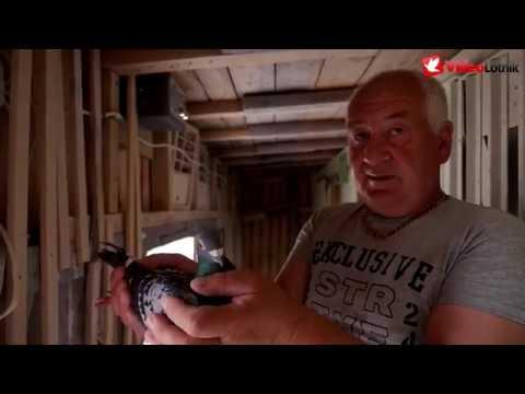 Dariusz Kubicki - PZHGP 0243 Nidzica - gołębie, które dają tytuł mistrza