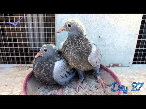 The evolution of pigeons from egg to pigeon