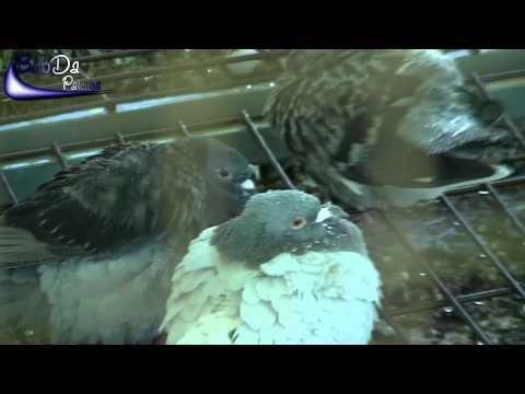 Racing Pigeon Shower / Tauben Duschen / Palomas Ducha (2012)