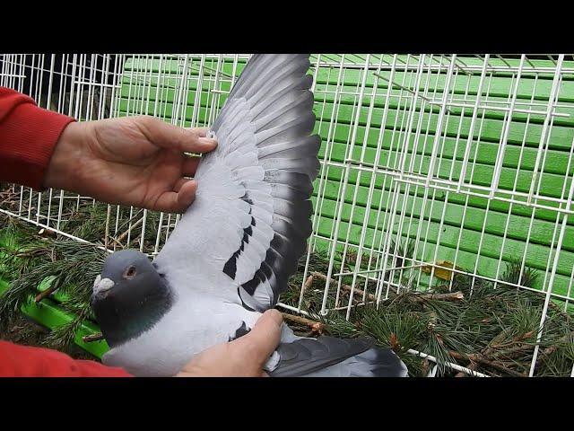 Szybkie gołębie Żniwiarze część 3 19 11 2020