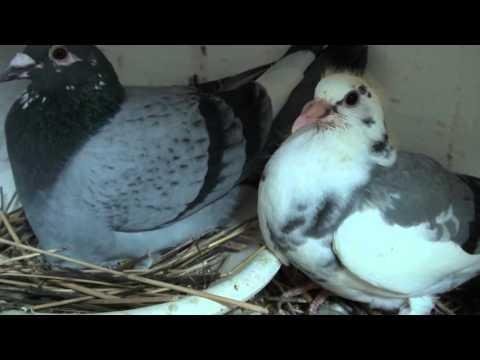 Triki w metodzie gniazdowej gołębi .