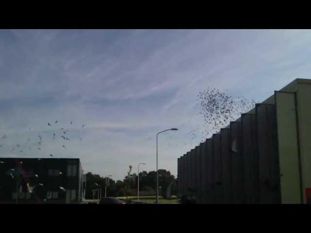 Duivenlossing in Zelhem 30 Juni 2012  Afdeling 9