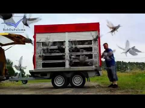 Markus Vorbau do a training toss 50-80 km every week with racing pigeons from Germany