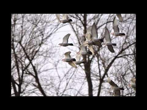 Vervoorty i Wyżymacze - gołębie przestworzy t728 465 939