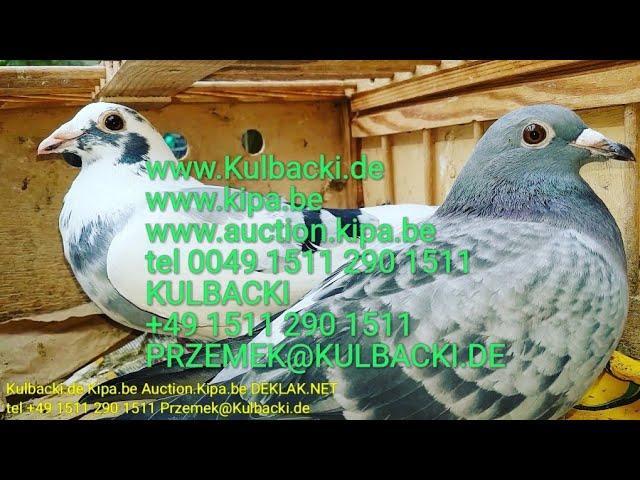Parka Pair Paar juz sprzedana are sold verkauft, tel +49 1511 290 1511 KULBACKI RACING PIGEONS