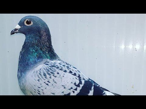 822,for sale/auction TOP QUALITY OF BEST PIGEONS IN EUROPE BY KULBACKI GERMANY AUCTION.KIPA.BE