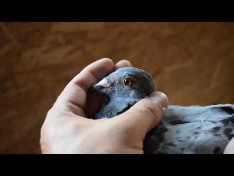 Marathon strain pigeons - Young birds for sale !