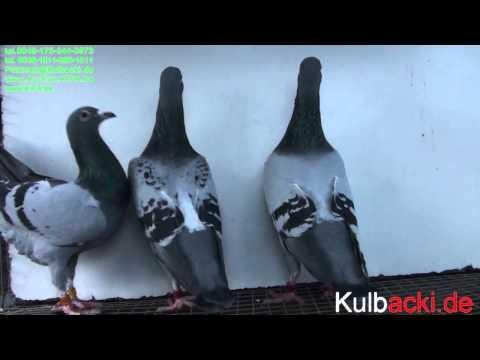 welcome to my pigeons auction aukcja.kipa.be SYNY RAMBA NA SPRZEDAZ 7 national Champion 15x1.
