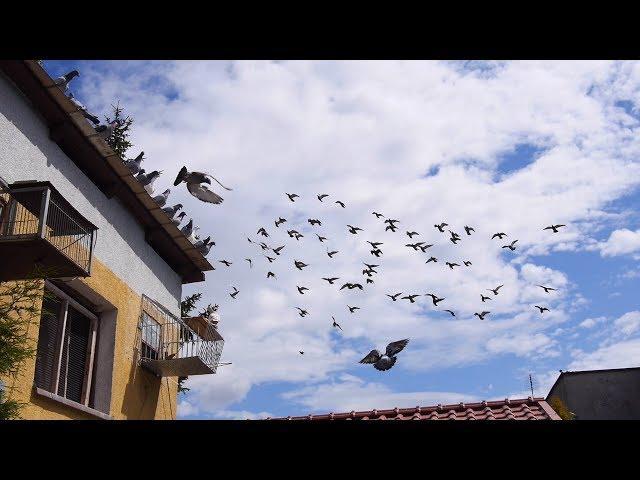 Everything about pigeon racing - www.VideoLotnik.pl - Wszystko o gołębiach pocztowych