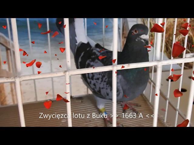Gołębi As lotu z Buku poprzez Pocztex i KLD tel. 728 465 939