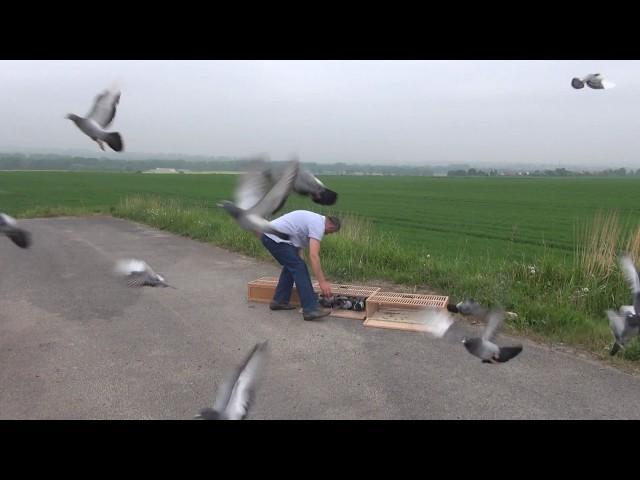 Szybkie młode gołębie na start tel. 728 465 939