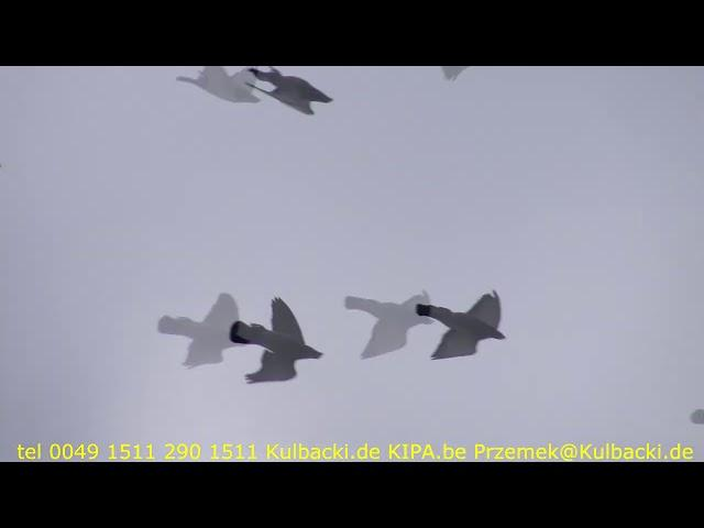 Sporttauben Männchen moje lotniki samce my racing pigeons | best of Germany | Racing Pigeons |
