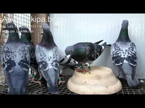 Kulbacki pigeons export shipping pigeons around the world weltweiterversand von Spitzenklasse Tauben
