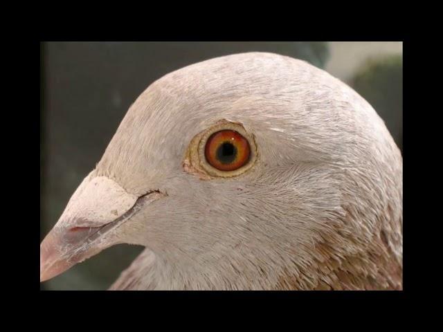 Czy chcesz gołębia z linii Aardena od Ryszarda tel. 728 465 939