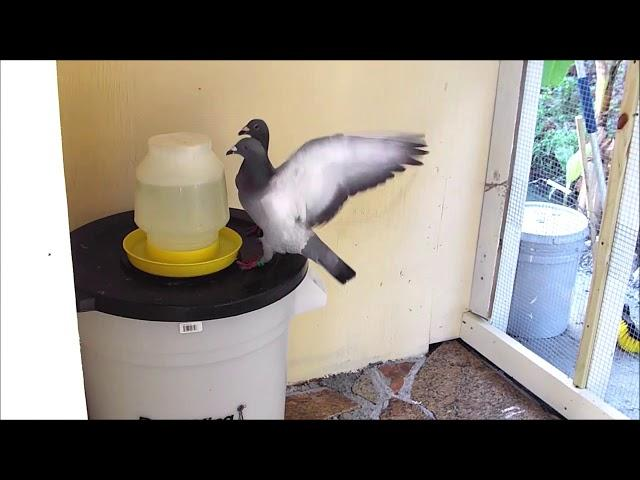 Pigeon Racing Loft - Update #3 - Feeding Pigeons and Water Mix