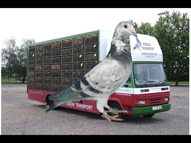 Video 445: Catterall Pigeon Transport of Blackpool